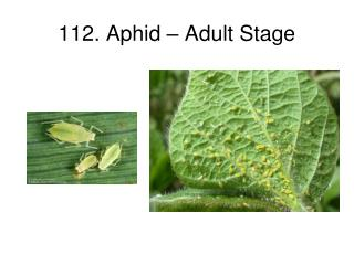 112. Aphid � Adult Stage