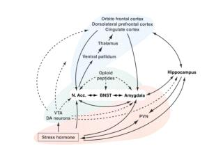 Human dopaminergic system