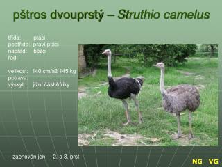 pštros dvouprstý –  Struthio camelus