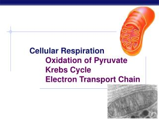 Cellular Respiration 		Oxidation of Pyruvate 		Krebs Cycle 		Electron Transport Chain