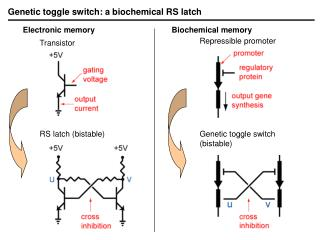 Genetic toggle switch: a biochemical RS latch