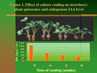 Figure 1. Effect of culture cooling on strawberry  plant quiescence and endogenous IAA level