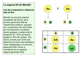 La segona llei de Mendel: Llei de la separació o disjunció dels al·lels.