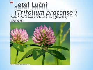 Jetel Luční  ( Trifolium pratense  )