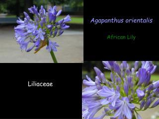 Agapanthus orientalis