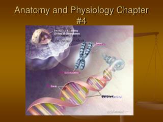 Anatomy and Physiology Chapter 4