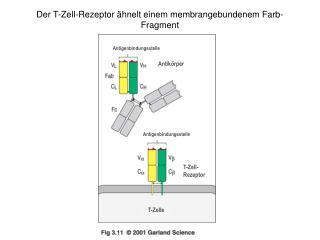 Der T-Zell-Rezeptor ähnelt einem membrangebundenem Farb-Fragment