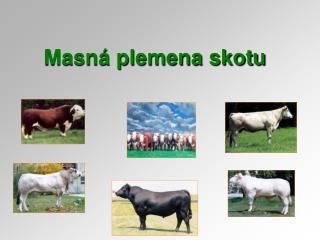 Masná plemena skotu