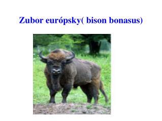 Zubor eur�psky( bison bonasus)
