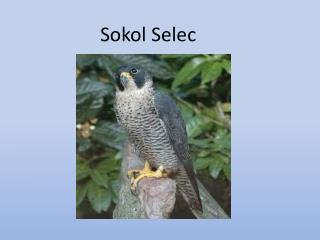 Sokol Selec