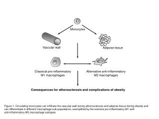 Classical pro-inflammatory M1 macrophages