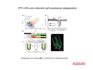 YFP–LRCs are a discrete Lgr5-expressing subpopulation.