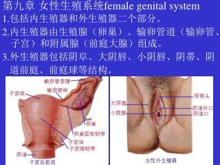 第九章 女性生殖系统 female genital system 1. 包括内生殖器和外生殖器二个部分。 2. 内生殖器由生殖腺(卵巢)、输卵管道(输卵管、子宫)和附属腺(前庭大腺)组成。