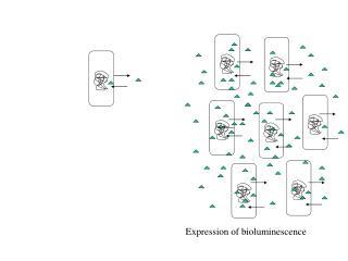 Expression of bioluminescence