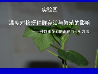 实验四 温度对棉蚜种群存活与繁殖的影响