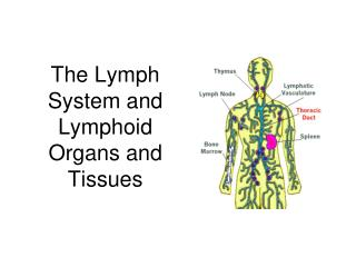 The Lymph System and Lymphoid Organs and Tissues
