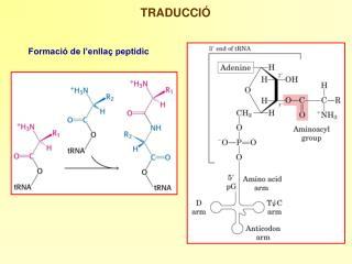 Formació de l'enllaç peptidic