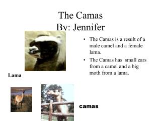 The Camas  By: Jennifer