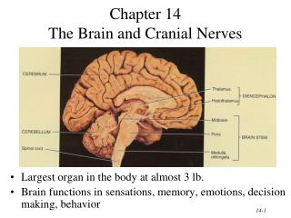 Chapter 14 The Brain and Cranial Nerves