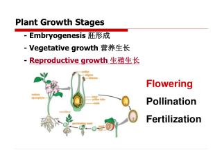 Plant Growth Stages     - Embryogenesis  胚形成     - Vegetative growth  营养生长