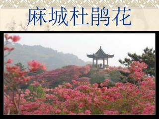 麻城杜鹃花
