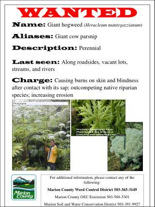 WANTED Name:  Giant hogweed  ( Heracleum mantegazzianum ) Aliases:  Giant cow parsnip