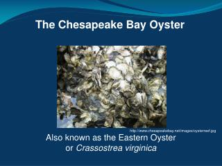 The Chesapeake Bay Oyster