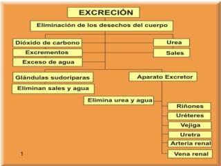 ESTRUCTURA Y FUNCIONAMIENTO DEL APARATO EXCRETOR