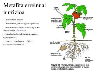 Metafita erreinua: nutrizioa