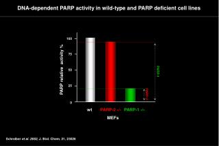 DNA-dependent PARP activity in wild-type and PARP deficient cell lines