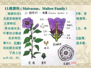 13. 锦葵科  ( Malvaceae , Mallow Family )