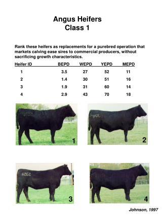 Angus Heifers Class 1