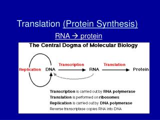 Translation Protein Synthesis