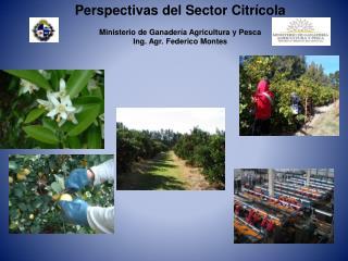 Perspectivas del Sector Citrícola  Ministerio de Ganadería Agricultura y Pesca