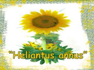 """"""" Heliantus annus """""""