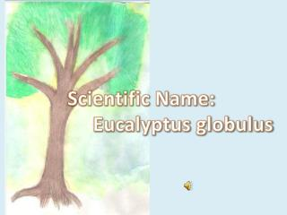 Scientific Name :       Eucalyptus  globulus