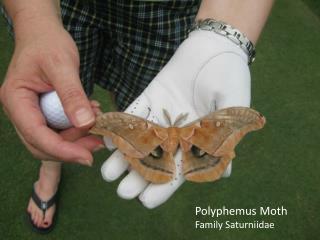 Polyphemus Moth Family Saturniidae