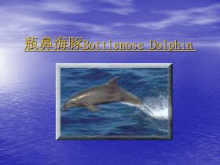 瓶鼻海豚 Bottlenose Dolphin