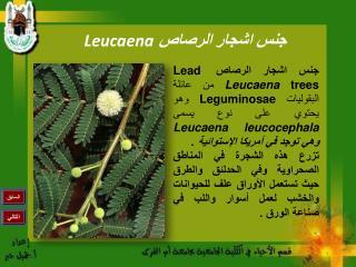 جنس اشجار الرصاص  Leucaena
