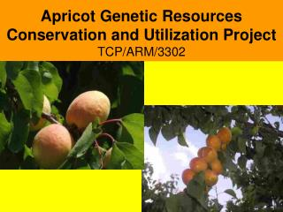 Apricot Genetic Resources Conservation and Utilization Project TCP/ARM/3302