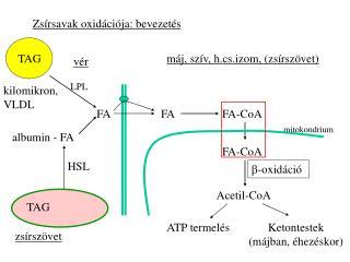Zsírsavak oxidációja: bevezetés