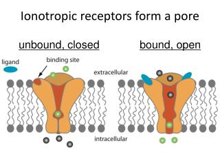 Ionotropic receptors form a pore