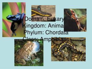 Domain: Eukarya Kingdom: Animalia Phylum: Chordata Class: Amphibians