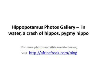 Photos of Hippopotamus (Hippo) to download for free