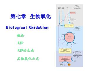 第七章  生物氧化 Biological Oxidation