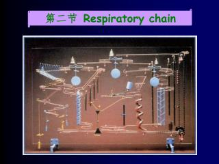 第二节  R espiratory chain