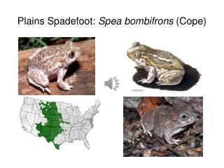 Plains Spadefoot:  Spea bombifrons  (Cope)