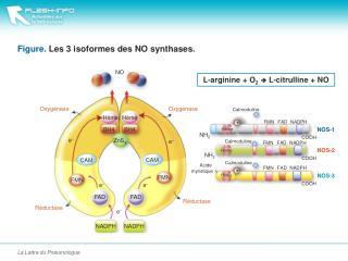 Figure.  Les 3  isoformes  des NO  synthases .