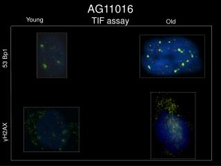 AG11016  TIF assay