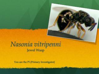 Nasonia vitripenni Jewel Wasp